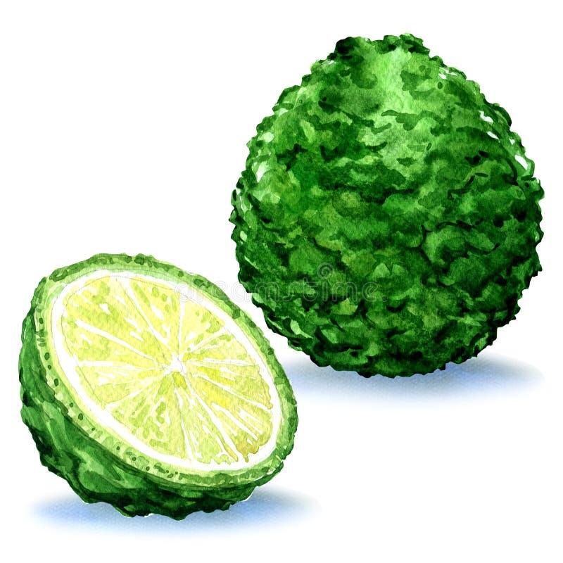 Fruto fresco verde da bergamota inteiro e fatia, isolada, ilustração da aquarela ilustração stock
