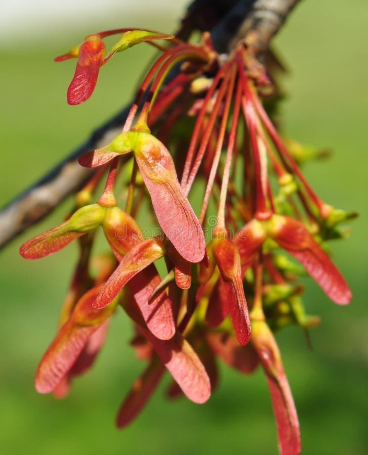 Fruto juvenil da árvore do bordo vermelho (rubrum de Acer) imagem de stock