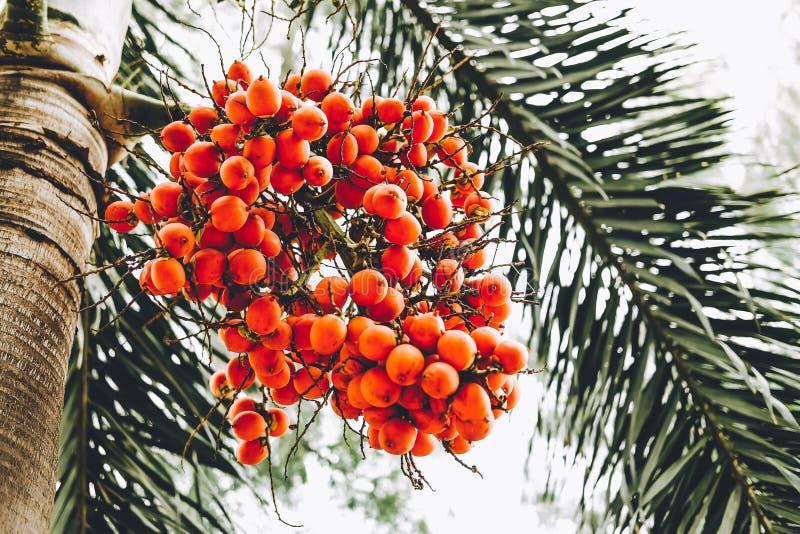 Fruto maduro com cor vermelha ou alaranjada do normanbyi preto de Normanbya da palma na árvore fotos de stock