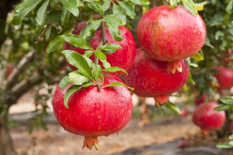 Fruto maduro da romã no ramo de árvore foto de stock royalty free