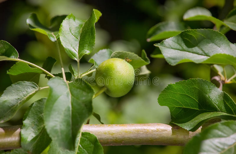 Fruto novo após ter florescido a maçã que pendura em uma árvore no jardim foto de stock royalty free