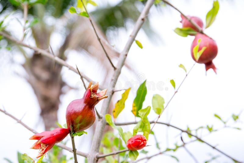 Fruto novo da romã no ramo de árvore imagem de stock