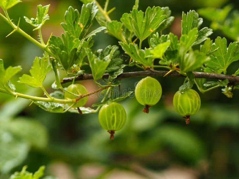 Fruto orgânico da groselha nos ramos no jardim para o estilo de vida e a dieta saudáveis imagens de stock royalty free