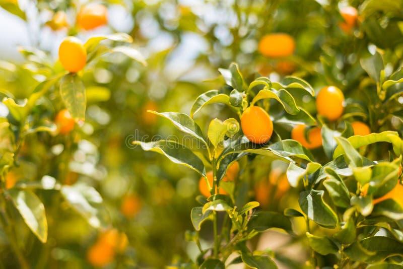 Fruto orgânico na árvore em um fundo borrado - fundo natural do Kumquat do fruto fotos de stock royalty free