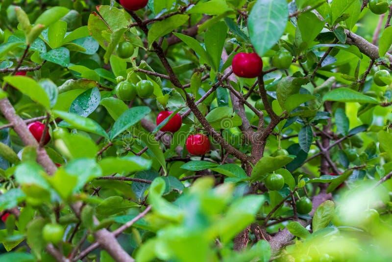 Fruto pequeno da cereja do Acerola na árvore A cereja do Acerola é a vitamina alta C e frutos antioxidantes Foco seletivo foto de stock royalty free