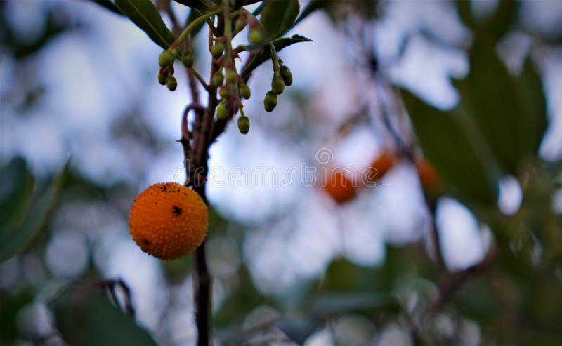 Fruto pontudo alaranjado selvagem foto de stock