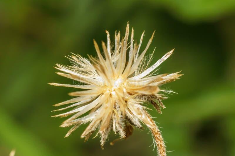 Fruto residual de erva daninha difundida imagens de stock