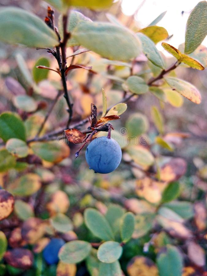 Fruto selvagem do mirtilo no fim da natureza acima fotografia de stock