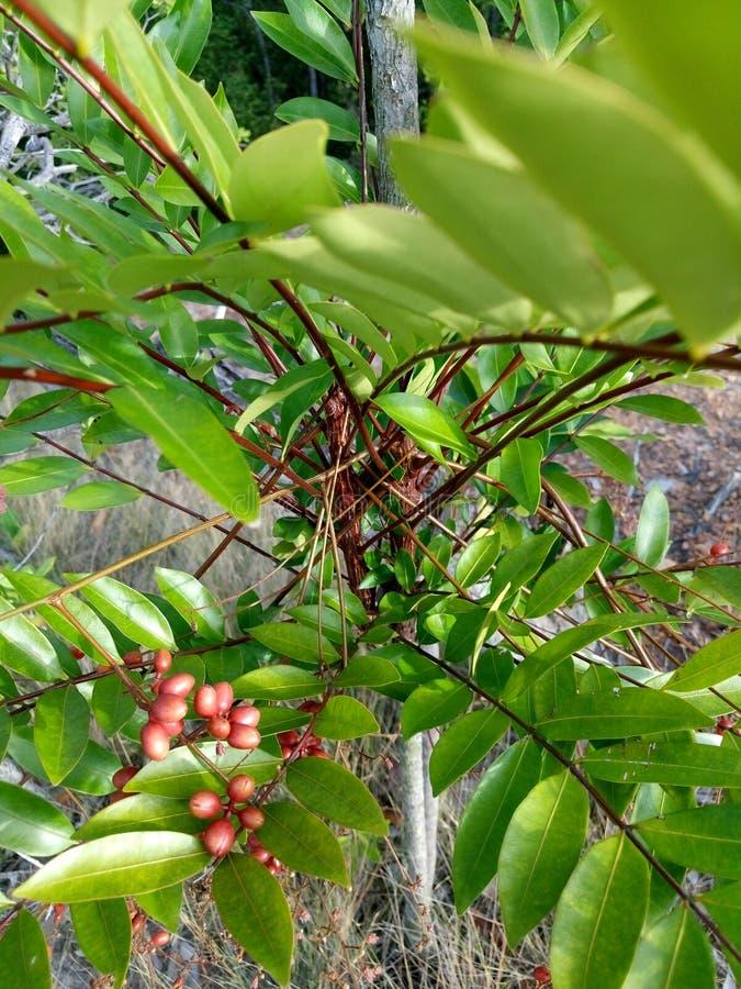 Fruto selvagem no xá Bandar imagem de stock