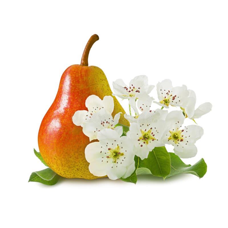 Fruto suculento amarelo vermelho maduro da pera com folhas verdes e as flores da árvore de pera isoladas no fundo branco como o p imagem de stock royalty free