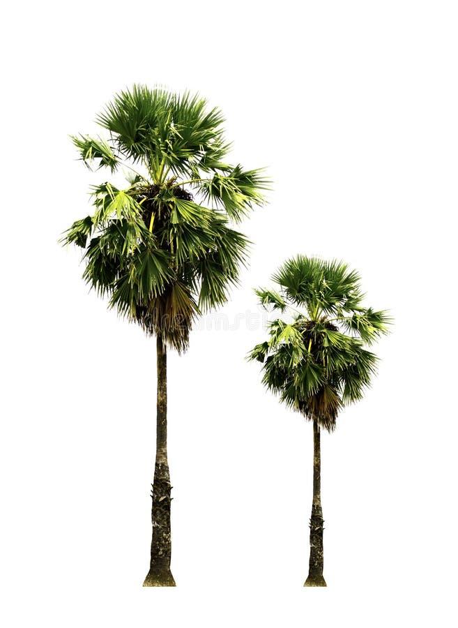 Fruto tropical, palmeira do açúcar que cresce acima na borda da estrada no campo isolado no fundo branco imagens de stock