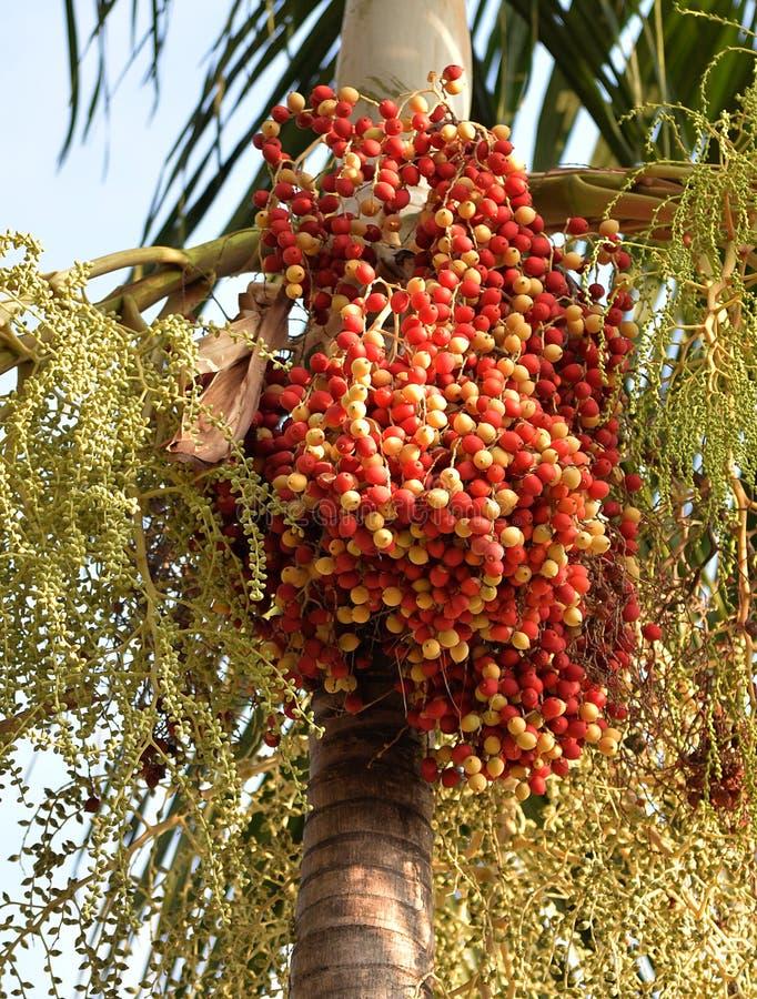 Fruto tropical vermelho da palma fotos de stock royalty free