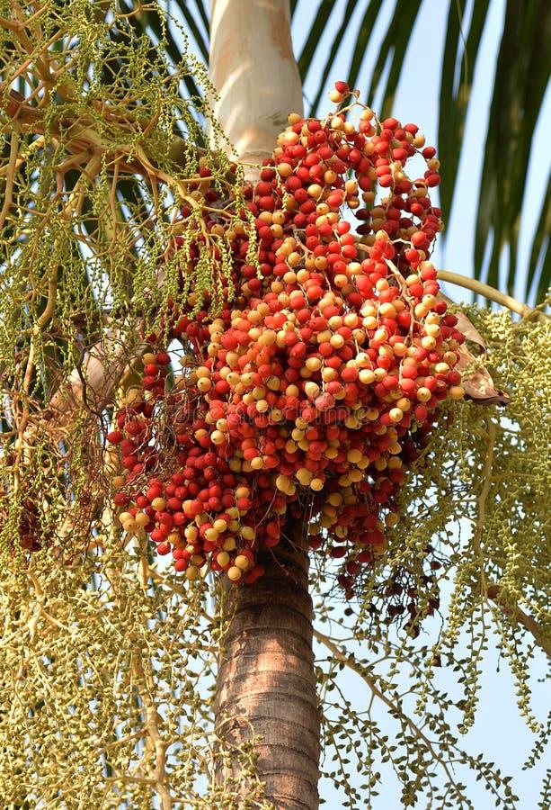 Fruto tropical vermelho da palma imagem de stock royalty free