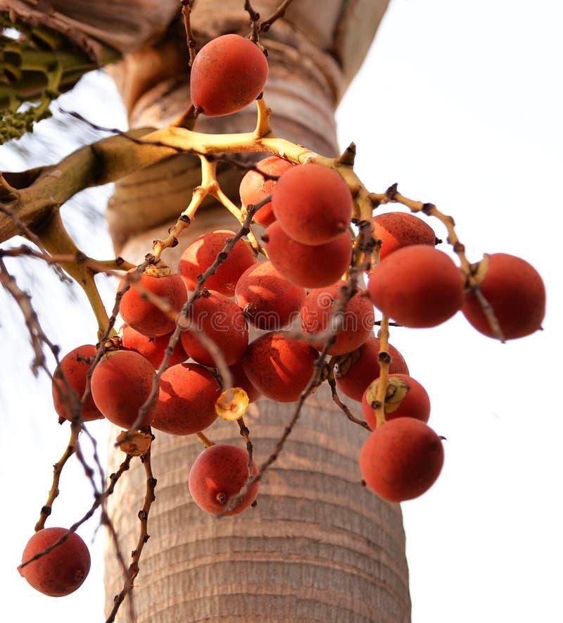 Fruto tropical vermelho da palma foto de stock