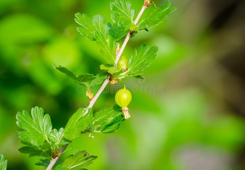Fruto verde da groselha foto de stock