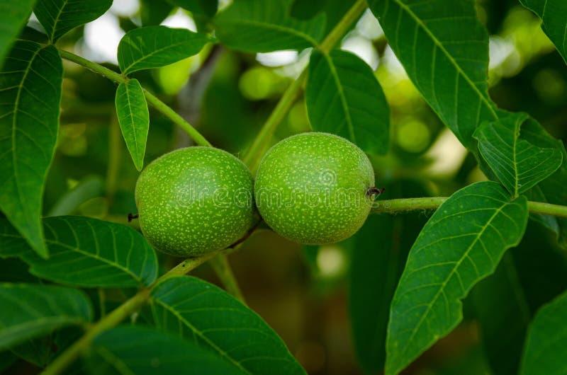 Fruto verde da noz foto de stock royalty free