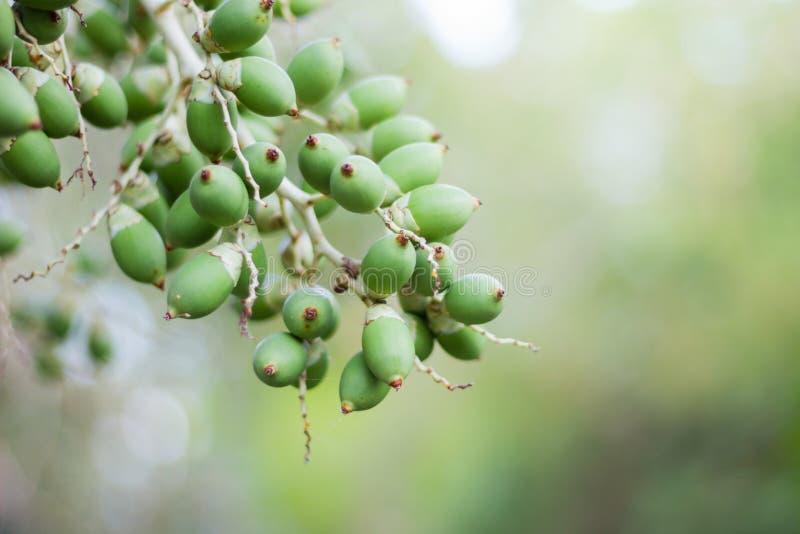 Fruto verde da palma de Manila imagens de stock royalty free
