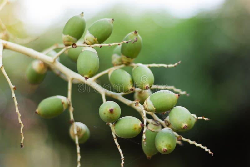 Fruto verde da palma de Manila imagens de stock