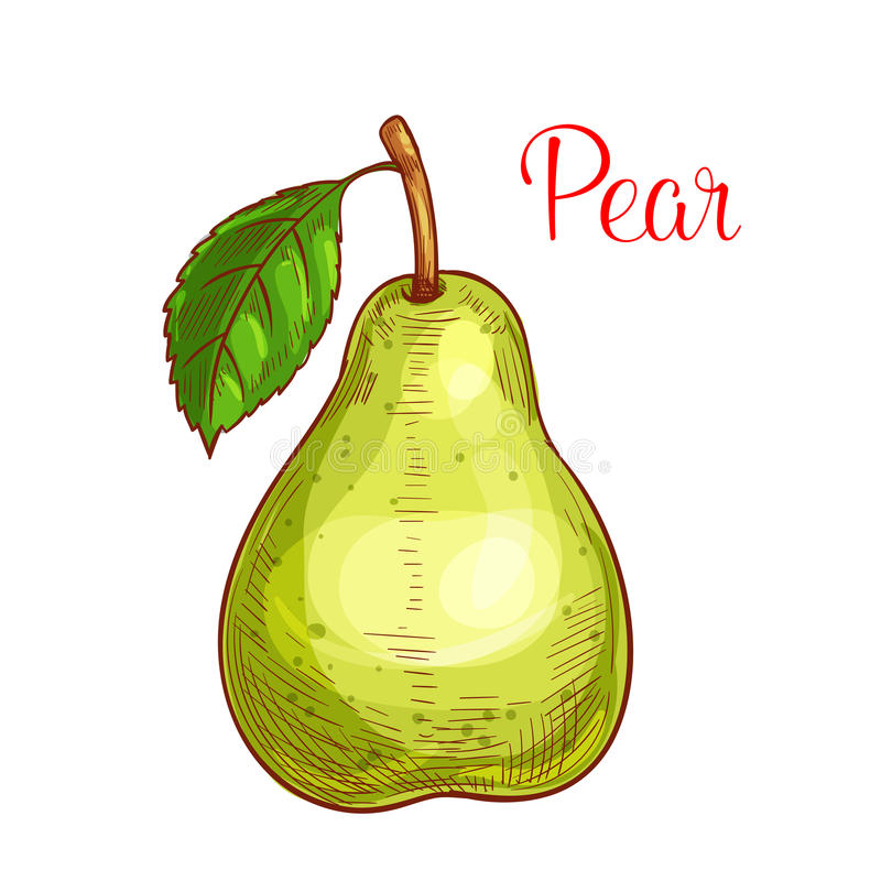 Fruto verde da pera com esboço isolado folha ilustração royalty free