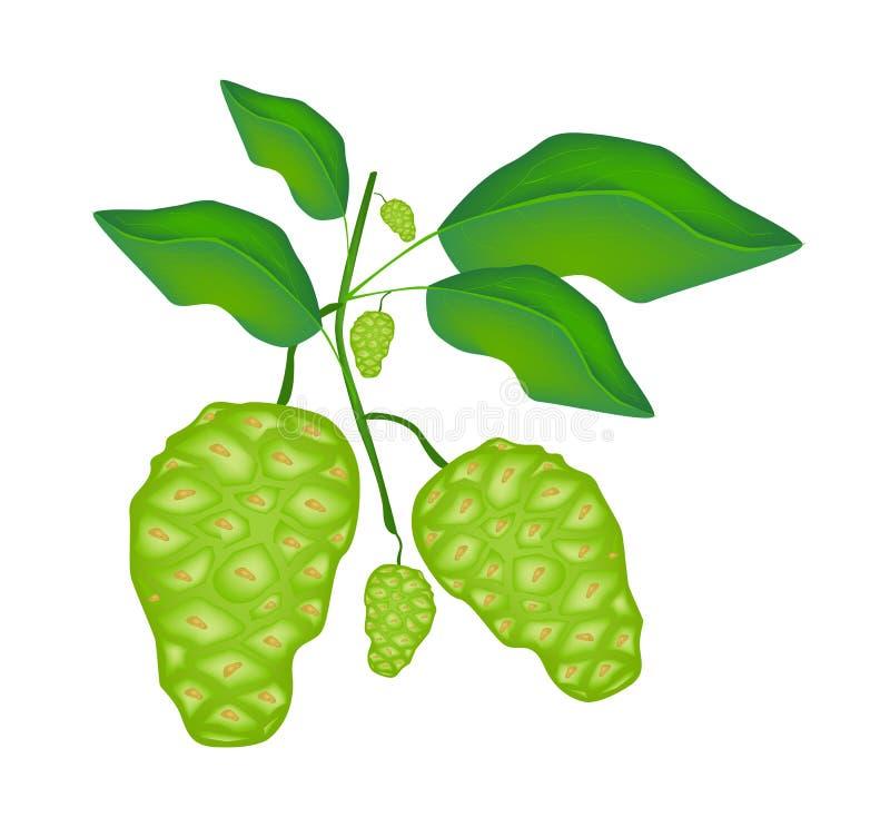 Fruto verde de Noni ou de Morinda Citrifolia em uma árvore ilustração royalty free