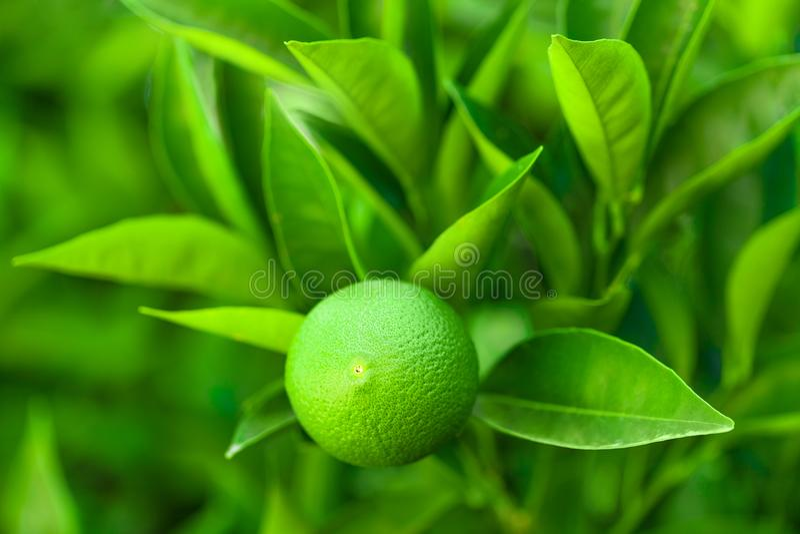 Fruto verde do amadurecimento alaranjado em um ramo de uma árvore - Croácia, ilha Brac fotos de stock royalty free