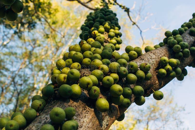 Fruto verde do marula em África do Sul fotografia de stock