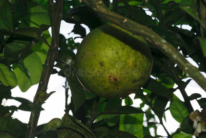 Fruto verde verde do pomelo que pendura na árvore imagens de stock