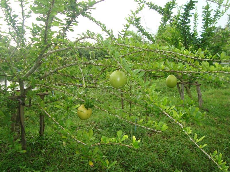 Fruto verde nas madeiras fotografia de stock