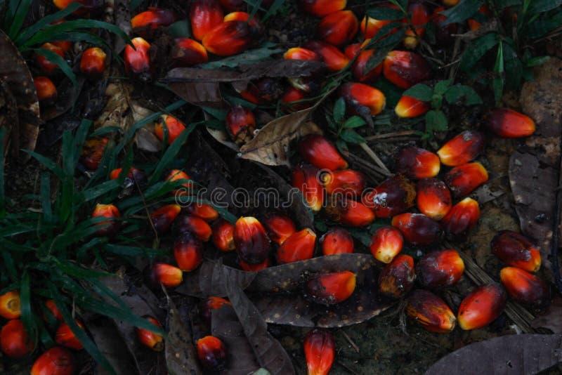 Fruto vermelho de que óleo de palma fotografia de stock royalty free