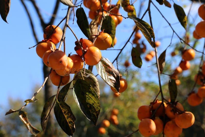 Fruto vermelho do caqui, outono imagens de stock