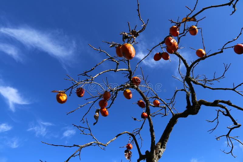 Fruto vermelho do caqui, outono imagens de stock royalty free