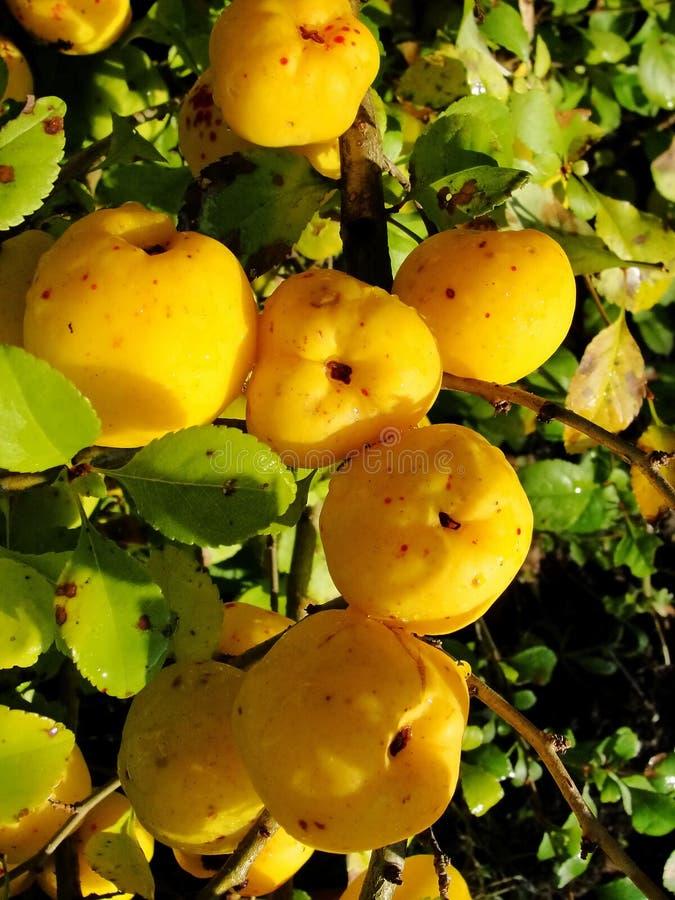 Frutos amarelos da festão do marmelo japonês em ramos de um arbusto fotos de stock royalty free