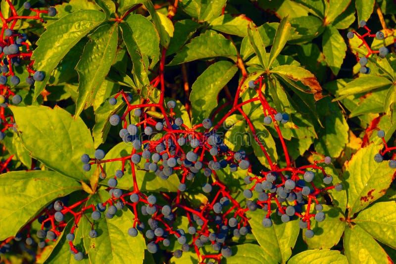Frutos azuis do vinho selvagem em hastes vermelhas imagens de stock