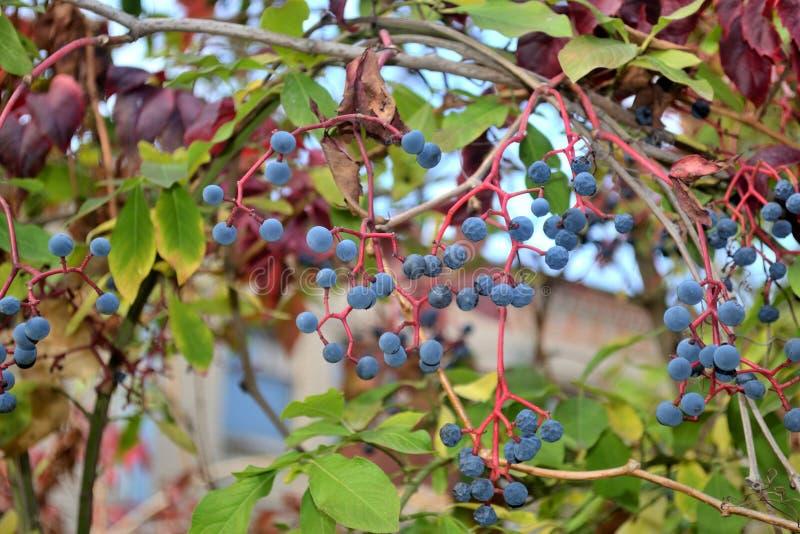 Frutos azuis macios agradáveis da trepadeira da Virgínia no outono imagem de stock
