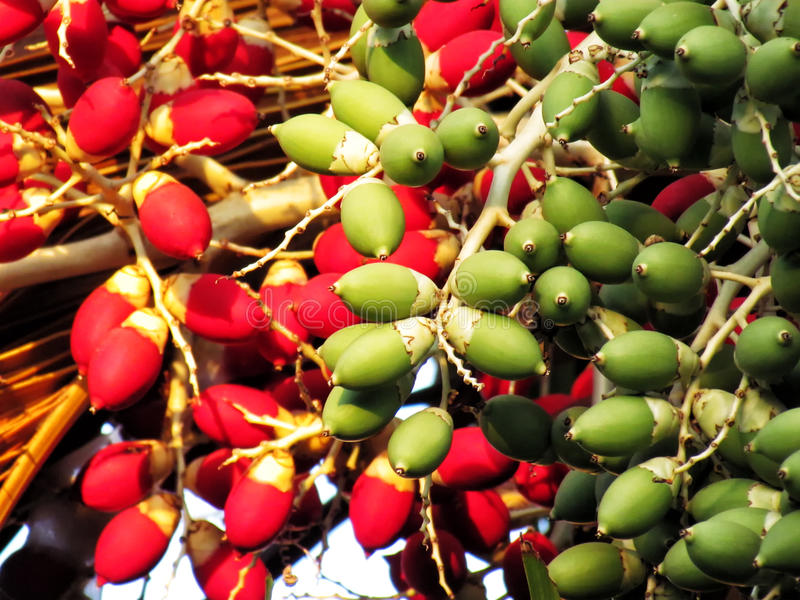Frutos coloridos da palma de Manila ou da palma do Natal, foco dianteiro fotografia de stock