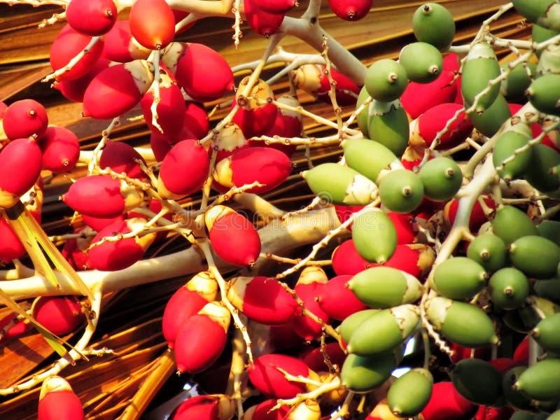 Frutos coloridos da palma de Manila ou da palma do Natal Foco traseiro fotografia de stock royalty free