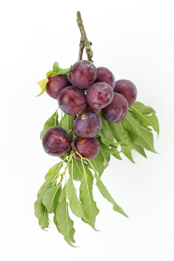 Frutos da ameixa imagem de stock