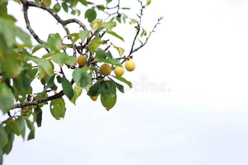 Frutos da ameixa amarela no ramo de árvore no jardim do verão fotos de stock
