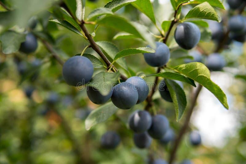 Frutos da ameixa de ameixa imagens de stock