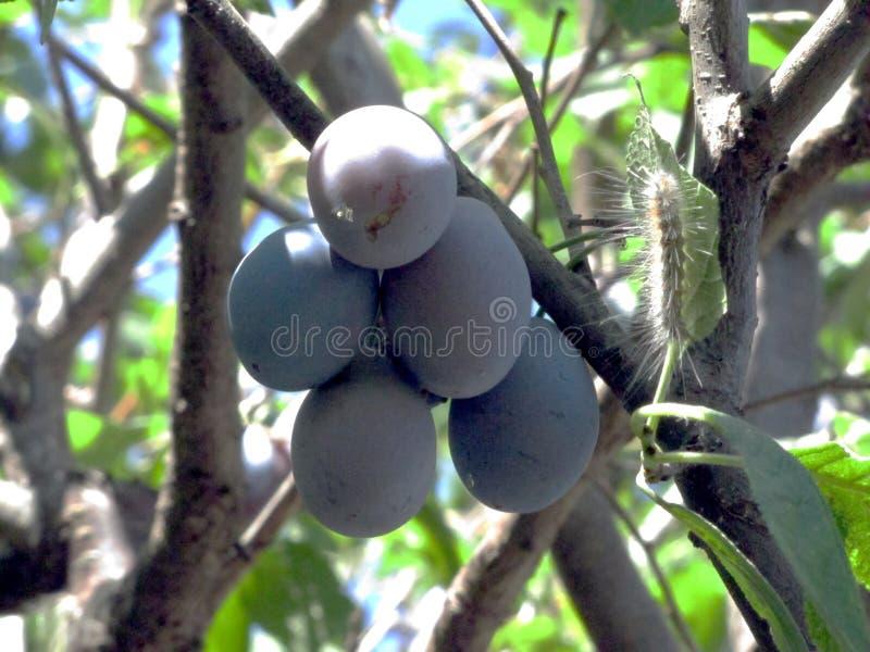 Frutos da ameixa em uma árvore imagem de stock royalty free