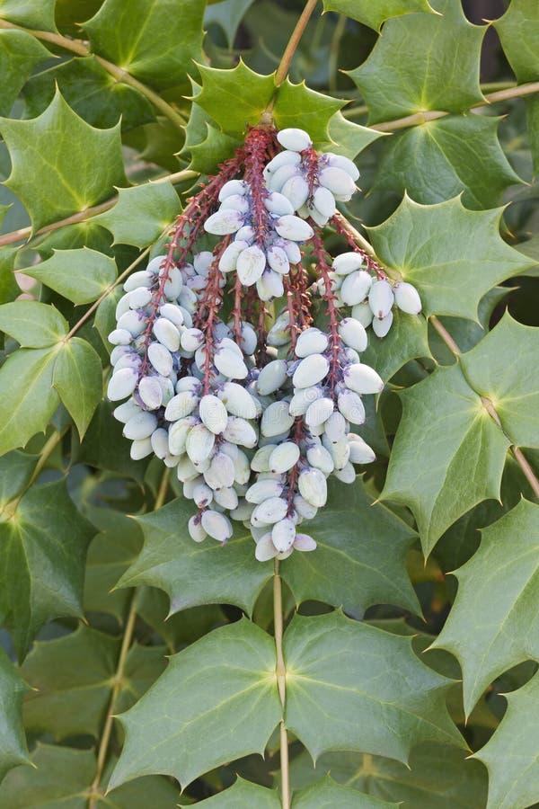Frutos da bérberis de Beale foto de stock
