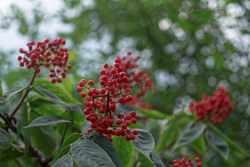 frutos da baga de sabugueiro vermelha imagem de stock