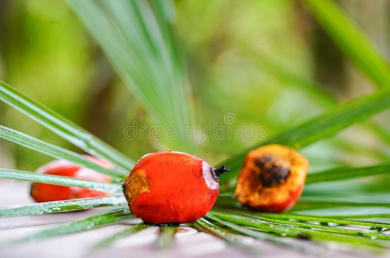 Frutos da palma de óleo imagem de stock royalty free