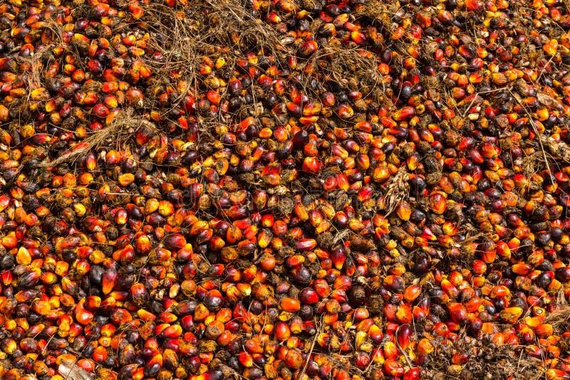 Frutos da palma de óleo imagem de stock