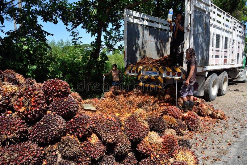 Frutos da palma de óleo fotos de stock
