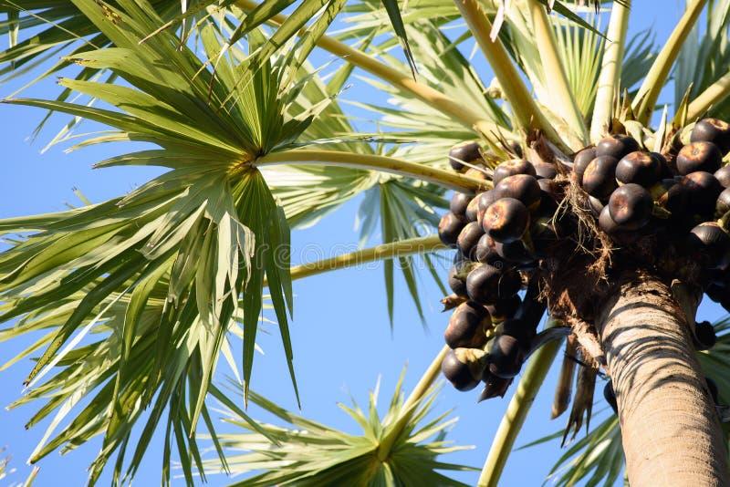 Frutos da palma de açúcar fotos de stock royalty free