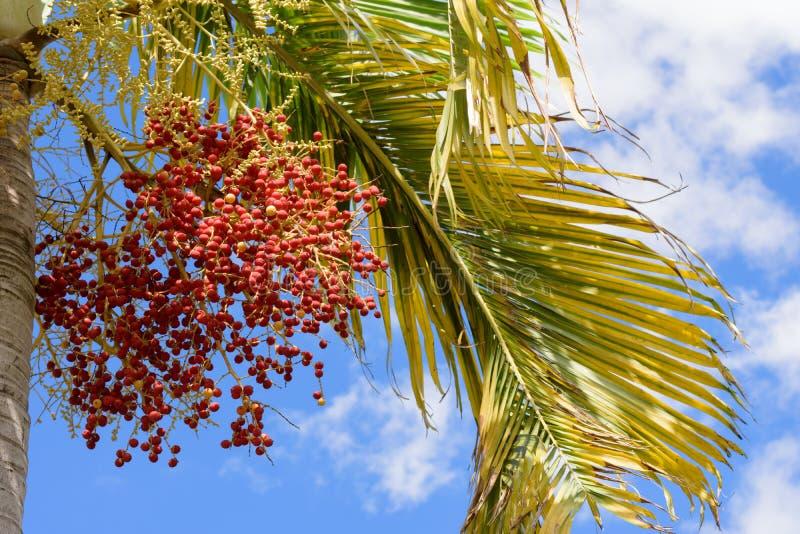 Frutos da palma de Manila fotos de stock