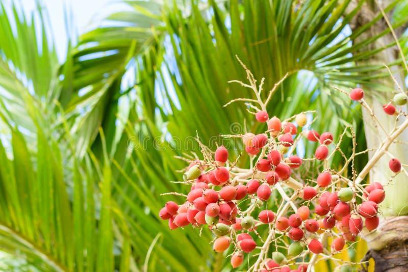Frutos da palma de Manila imagens de stock
