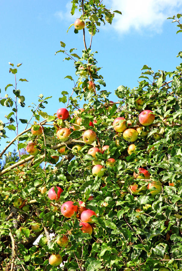 Frutos das maçãs nos ramos de uma árvore imagens de stock