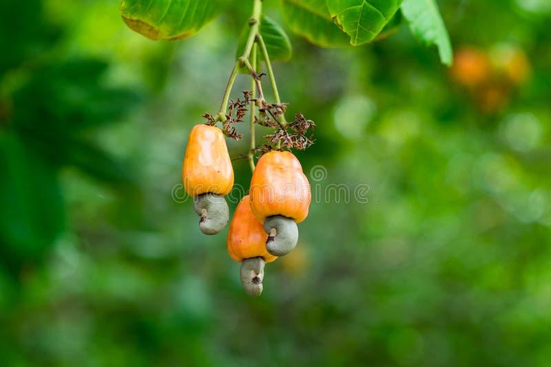 Frutos de árvore da porca do caju fotos de stock
